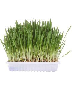 Färdigplanterat snabbväxande kattgräs
