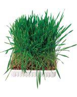 Gräs för smådjur med havre