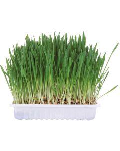 Gräs för smådjur med havre, vete och korn