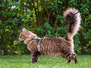 Katt med sele och koppel